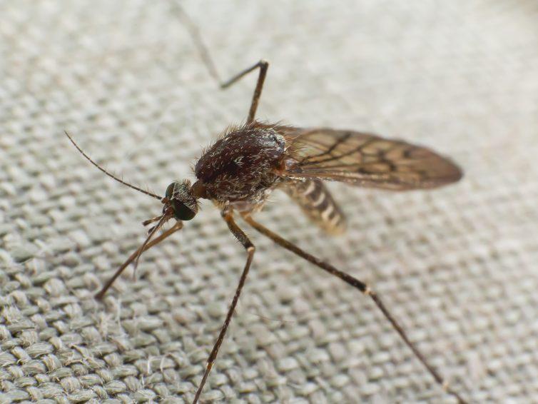 Muggen niet eerder zo lang in Nederland